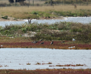 Curlew, Rye Harbour Reserve, 2013-09-10 003