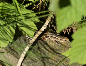 Common Lizards