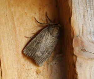 Mottled Rustic Moth (I think)