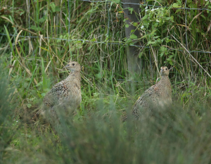 Group of Young Pheasants