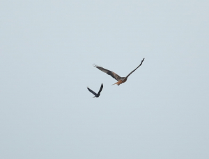 Red Kite Being Mobbed by Jackdaw