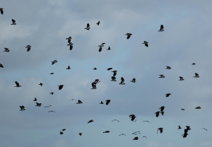 Lapwings and Starlings