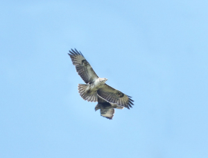 Pair of Buzzards