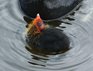 Coot Chick Close-ups