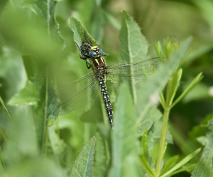 Hairy Dragonfly With Prey
