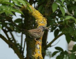 Dunnock, with a Beakful of Insects
