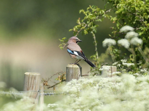 Jay on a Bed of Cow Parsley
