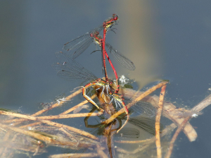 Large Red Damselflies, Ovipositing