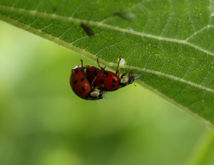 Harlequin, Ladybirds, Mating