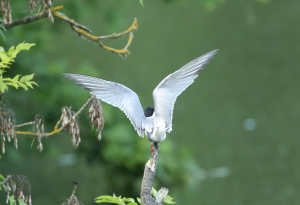 Common Tern, Take Off