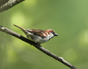 Just a House Sparrow?