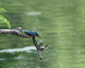 Kingfisher, Male, Dive Sequence