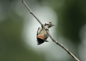 Great Spotted Woodpecker, Hanging from Branch