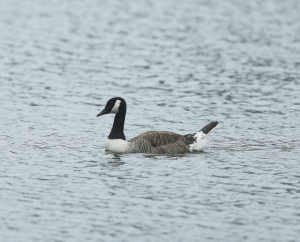 Canada Goose, With Unusual Tail Markings