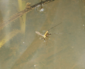 Backswimmer, Taking Cranefly