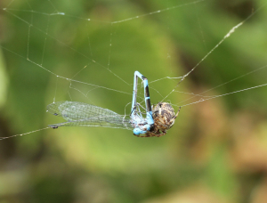 The End of a Blue Damselfly