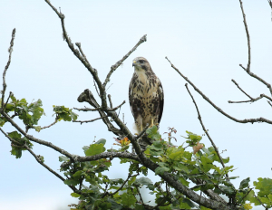 Buzzard, and a Bullied One at That
