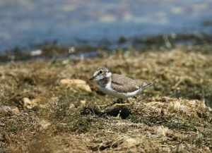 Juvenile Little Ringed Plover