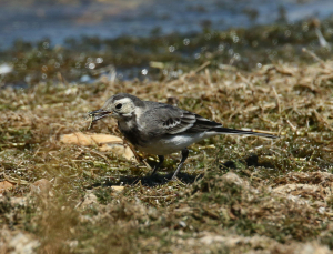 Pied Wagtail, juvenile, with damselfly