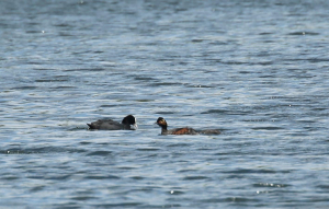 Black Necked Grebe a Long Way Away