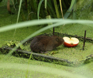 Water Voles Like Apples
