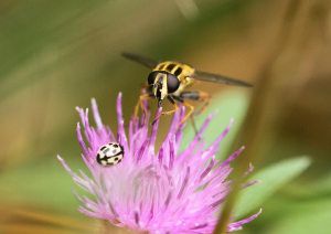 Helophilus Hoverfly