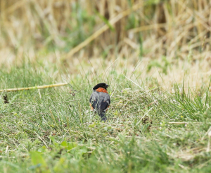Bullfinch Grounded