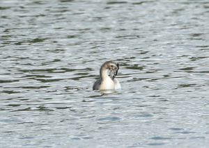 Great Crested Grebe, Losing Juvenile Plumage
