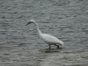 One of Eight Egrets