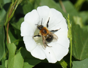 Bumblebee on Bindweed