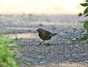 Thrush, Enjoying a Snail