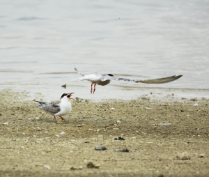 Common Tern, juvenile and adult, Grafham Water, 2014-08-14 002