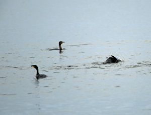 Cormorants, Apparently Having Located a Shoal of Fish