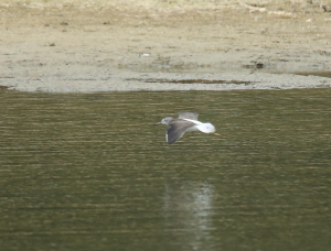 Greenshank in Flight