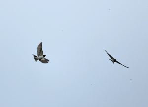 Swallows Feeding on the Wing
