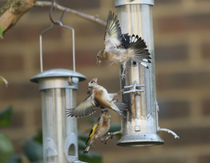 The War of the Goldfinches