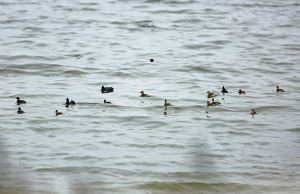 Little Grebes by the Dozen