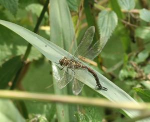 Dragonfly, Migrant Hawker, Rye Meads, 2014-09-16 005