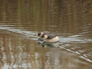 Two Little Grebes