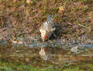 First Redpoll this Winter