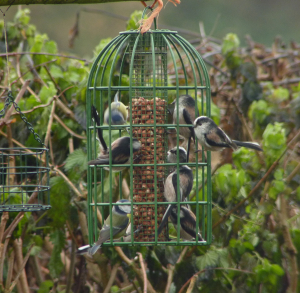 Long Tailed Tits (mostly)