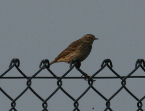 Tree Pipit or Meadow Pipit?