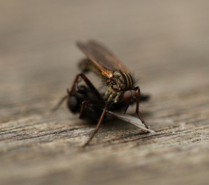 Unidentified Fly on Dying Male St Mark's Fly