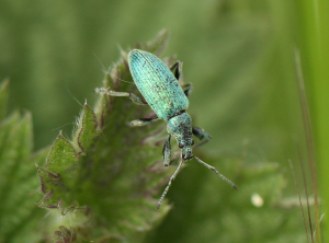 Small Green Weevil