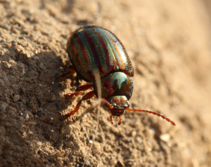A Very Attractive Little Beetle