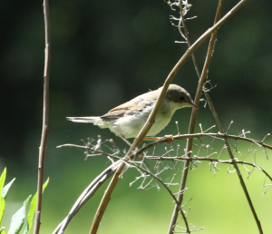 Unrecognized Warbler, Kirkby Moor, 2011-06-07 001
