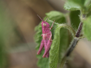 Pink Meadow Grasshopper