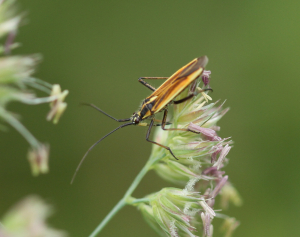 Meadow Plant Bug
