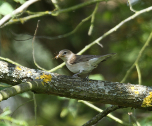 Warbler, with what looks like a mayfly