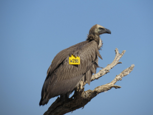 Vulture Conservation